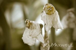 Dying daffodils-1-LOWCC 02-sm