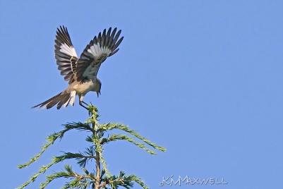 mockingbird sm