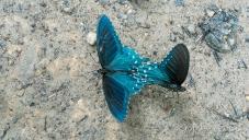 Dillingham Rd butterflies-11-e-sm