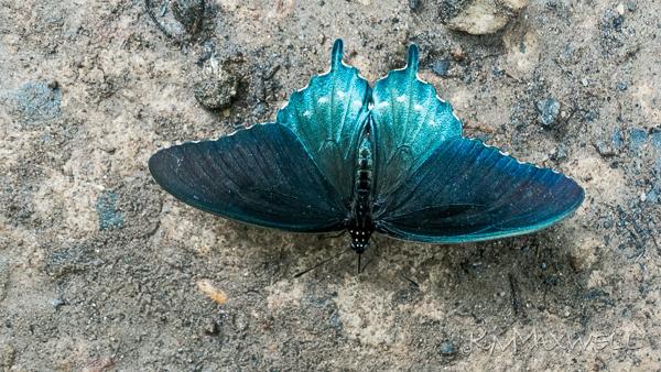 Dillingham Rd butterflies-12-e-sm