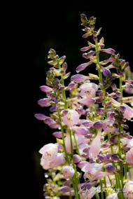 hosta flowers 06 14 18-sm