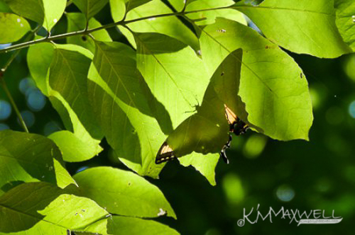 underlook-butterfly-at-pearson-falls-07-12-2018-1-sm