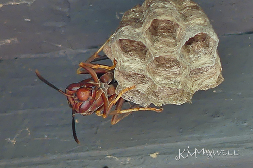 wasp on nest 05 10 2018 4-sm