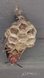 wasp on nest 05 10 2018 5-sm