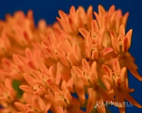 Orange Milkweed 07 02 2018 1-sm