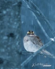 Bird sparrow sorta blued-sm