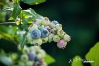 bluberries 06 14 181-sm