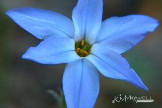 blue star flower - sm