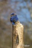 Bluebird 03 15 2017 09.21.38-sm