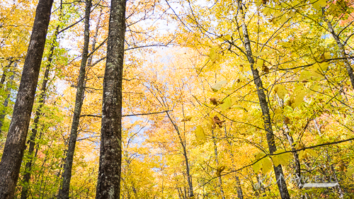 Fall leaves along Logging Road 10 31 2018 11.28.00-sm