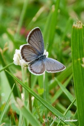tiny blue butterfly 4-22-12 (1)-sm