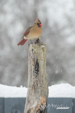 Cardinal female 12-09-2018 12.05.09-sm