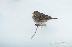 Sparrow in the snow 12-09-2018 12.30.19-sm