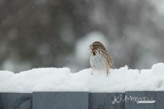 Sparrow in the snow 12-09-2018 13.01.43-sm