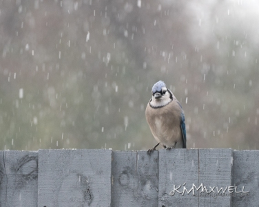 Blue Jay in snow 12-08-2018-sm