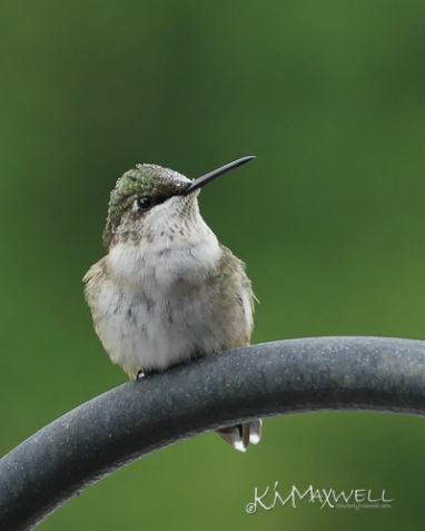 Hummingbird 09-15-2018 09.53.32-sm