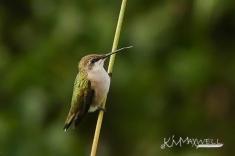 Hummingbird 09-29-2018 17-sm