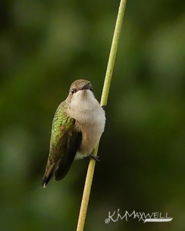 Hummingbird 09-29-2018 21-sm