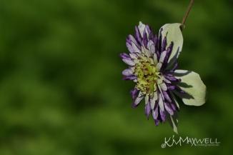 Purple Clematis 09-08-2018 1-sm