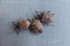 stinkbug trio-sm