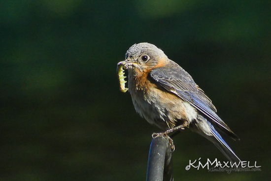 Bluebird parent 05-16-2019 08.13.25-sm-sm