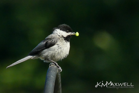 Chickadee parent 05-16-2019 09.06.05-2-sm