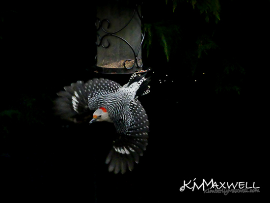 Red Bellied Woodpecker in flight 5of52 02-01-2019-sm-sm