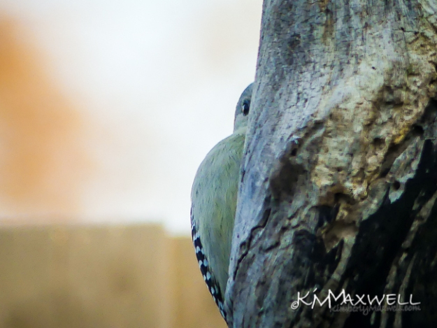Redbellied Woodpecker 01-28-2019 08.13.00-2-sm
