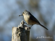 Titmouse bird {Date (MM)»}-26-2019 14 5-sm