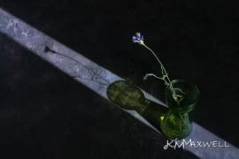 Chicory sm