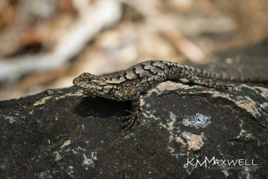 Eastern Fence Lizard 07-25-2019 14.04.44-sm