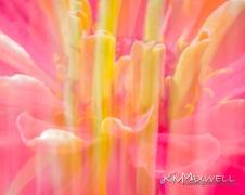 Flowers like fireworks Zinnia ICM-15-sm