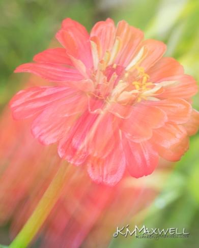 Flowers like fireworks Zinnia ICM-sm