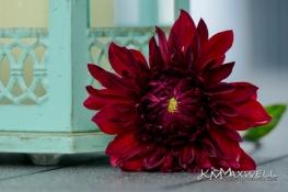 Red Dahlia and lantern 07-06-2019 08.17.53-sm