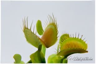 Venus Fly trap 05-27-2019 11-sm