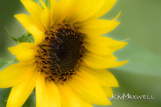 sunflower P1240005-sm