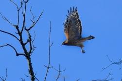 Hawk 01-09-2020 10.16.32-3-sm