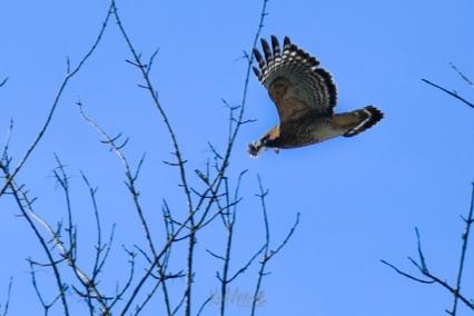 Hawk 01-09-2020 10.16.32-4-sm